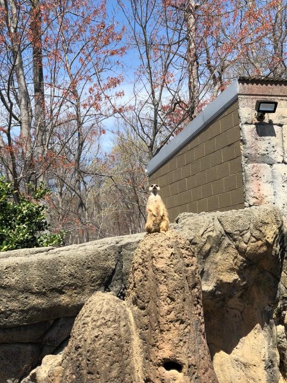 A cute little meerkat at a Science Center