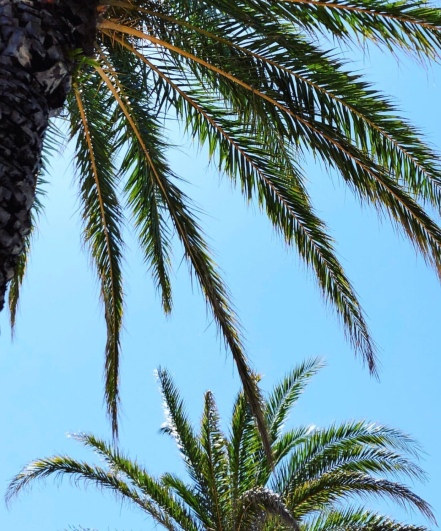 2. Palm Trees, St. Augustine Florida