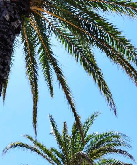 2. Palm Trees, St. Augustine Florida